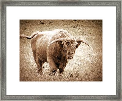 Scottish Highlander Bull Framed Print