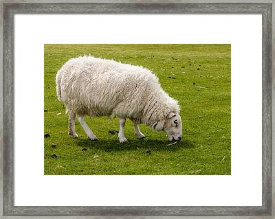Scottish Sheep - 1 Framed Print by Paul Cannon