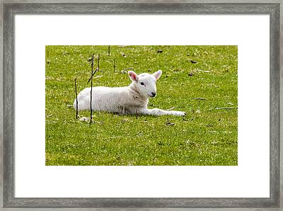 Scottish Sheep - 2 Framed Print by Paul Cannon