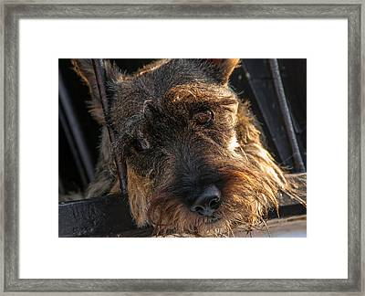 Scottish Terrier Closeup Framed Print by Jess Kraft