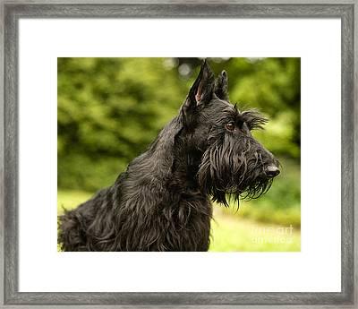Scottish Terrier Framed Print by Marvin Blaine