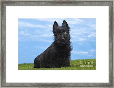 Scottish Terrier Puppy Framed Print