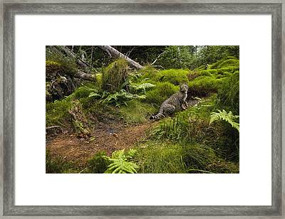 Scottish Wildcat And Domestic Cat Framed Print by Sebastian Kennerknecht