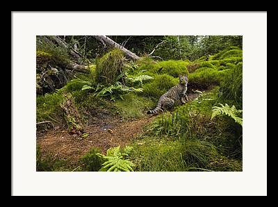 Felis Sp Framed Prints