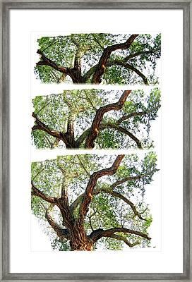 Scotty's Castle Oak Tree Framed Print by Will Borden