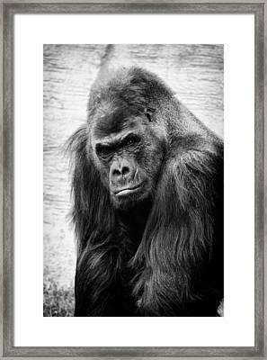 Scowling Gorilla Framed Print