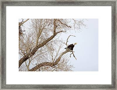 Screamin' Eagle Framed Print
