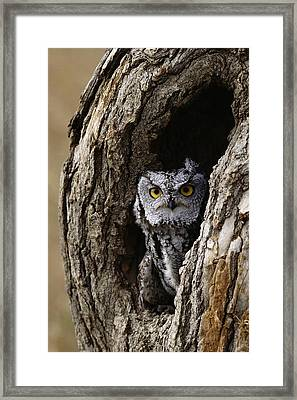 Screech Owl Framed Print by David Middleton