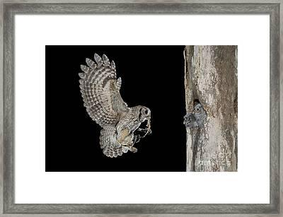 Screech Owl Feeding Owlets Framed Print