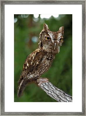 Screech Owl. Seminole County. Framed Print