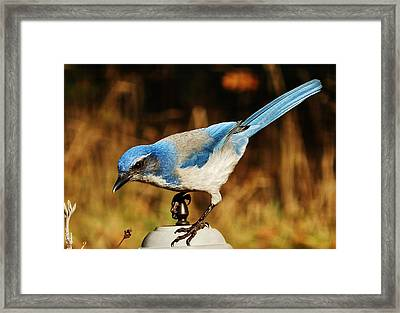 Framed Print featuring the photograph Scrub Jay by VLee Watson