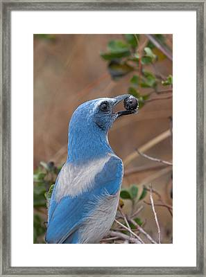 Framed Print featuring the photograph Scrub Jay With Acorn by Paul Rebmann