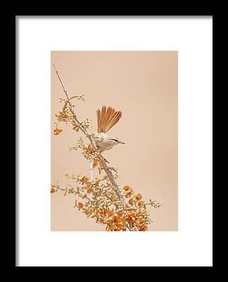Warbler Framed Prints