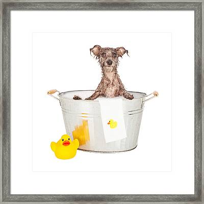 Scruffy Terrier In A Bath Tub Framed Print by Susan Schmitz