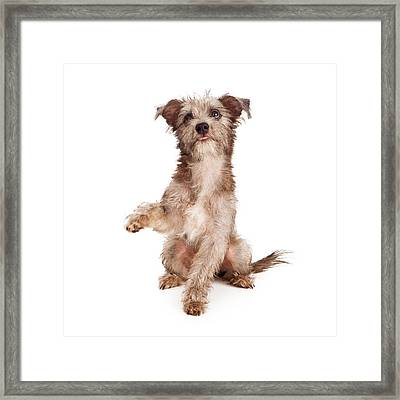 Scruffy Terrier Puppy Shaking Paw Framed Print
