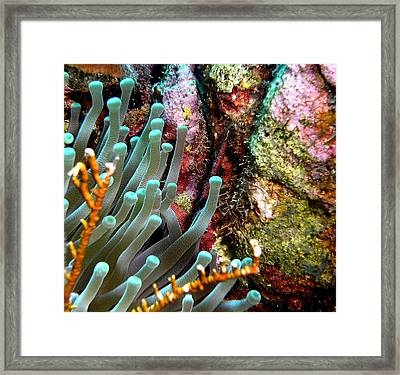 Sea Anemone And Coral Rainbow Wall Framed Print by Amy McDaniel