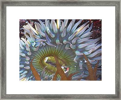 Sea Anemone Framed Print by Donna Leach