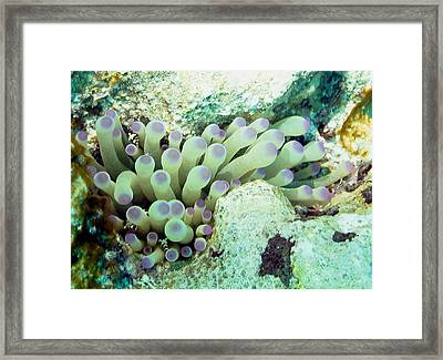 Sea Anemone With Squat Anemone Shrimp Family Framed Print by Amy McDaniel