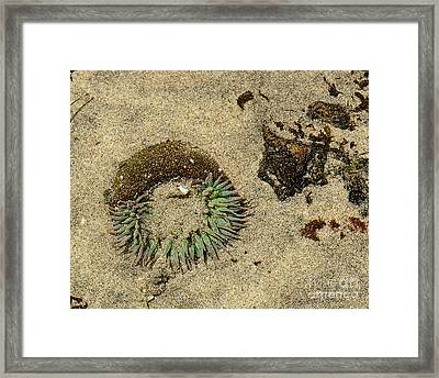 Sea Anenome Half Buried In The Sand Framed Print by Artist and Photographer Laura Wrede