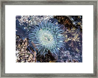 Framed Print featuring the mixed media Sea Anenome by Terry Rowe