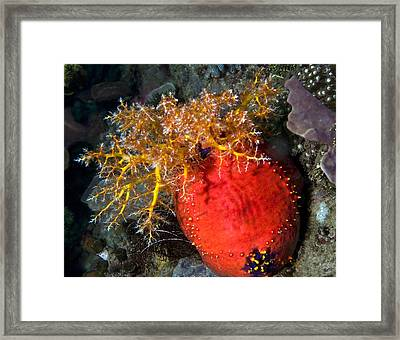 Sea Apple Framed Print by Paula Marie deBaleau