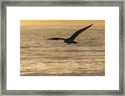 Sea Bird In Flight Framed Print by Paul Topp