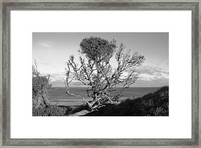 Sea Cliff Tree Framed Print by Amanda Holmes Tzafrir