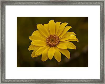 Sea Dahlia Framed Print