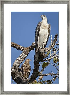 Sea Eagle And Brown Kite Sharing A Tree Framed Print