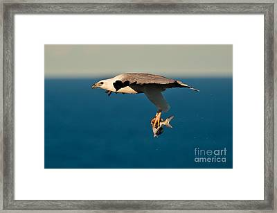 Sea Eagle With Catch Framed Print