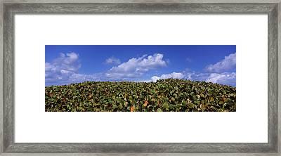 Sea Grapes Coccoloba Uvifera Framed Print by Panoramic Images