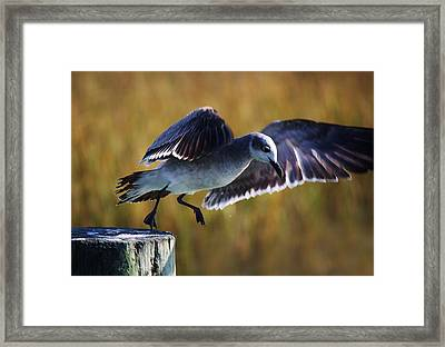 Sea Gull Take Off Framed Print by Paulette Thomas