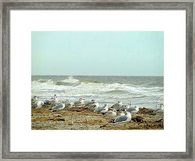 Sea Gulls In Windy Surf Framed Print by Cindy Croal