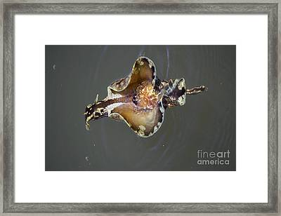 Sea Hare Asea Framed Print