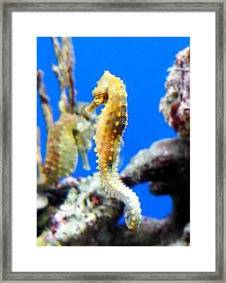 Sea Horses Framed Print by Amy McDaniel