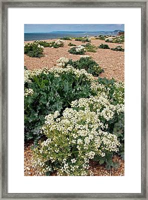 Sea Kale (crambe Maritima) In Flower Framed Print by Bob Gibbons