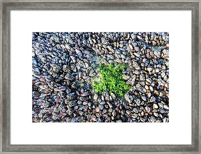 Sea Lettuce And Mussels Framed Print by Peter Chadwick