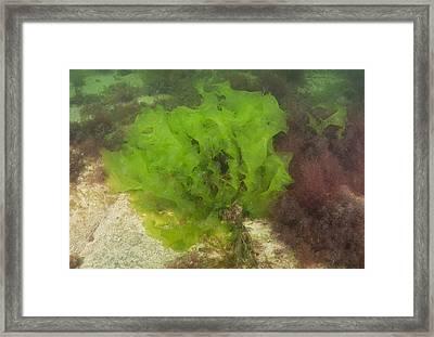 Sea Lettuce Framed Print by Andrew J. Martinez