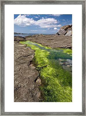 Sea Lettuce (ulva Sp.) In Rock Pool Framed Print