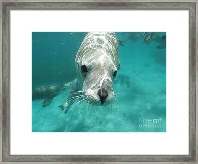 Sea Lion Framed Print by Crystal Beckmann