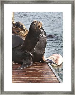 Sea Lion-stout Framed Print by David Millenheft