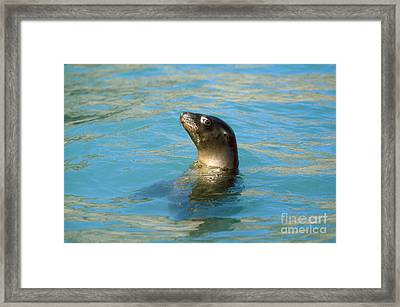 Sea Lion Framed Print by James L. Amos