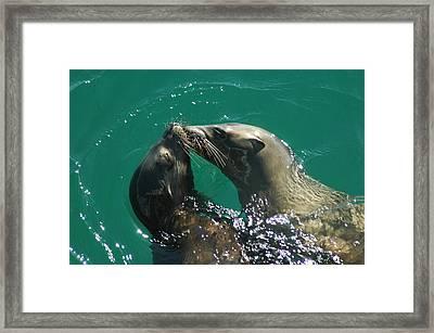Sea Lion Love Framed Print by Annie Pflueger