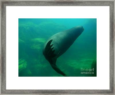 Sea Lion Framed Print by Eclectic Captures