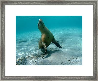 Sea Lion Play Time Framed Print by Crystal Beckmann