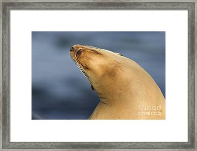 Framed Print featuring the photograph Sea Lion Stretch by Bryan Keil