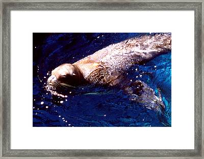 Sea Lion Swim Framed Print by Robert  Rodvik