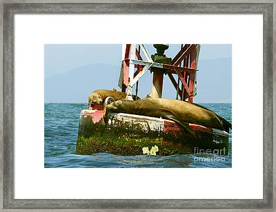Sea Lions Floating On A Buoy In The Pacific Ocean In Dana Point Harbor Framed Print by Artist and Photographer Laura Wrede