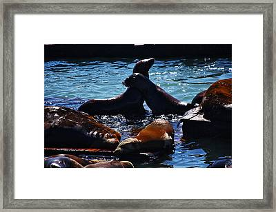 Sea Lions In San Francisco Bay Framed Print by Aidan Moran