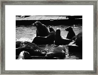 Sea Lions In The Bay Area Framed Print by Aidan Moran